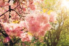 Filial av den sakura blomningen i tappningstilbakgrund Arkivfoton