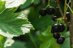 Filial av den svarta vinbäret i trädgården arkivbilder