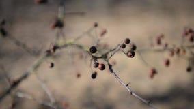 Filial av den torkade bärrönnen lager videofilmer