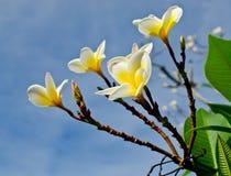 Filial av den tropiska blommafrangipanien (plumeria) Arkivfoton