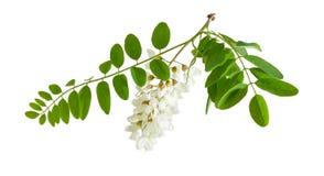 Filial av det blommande trädet för svart gräshoppa Arkivfoton