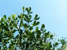 Filial av det gröna bladet under blå himmel Arkivfoton