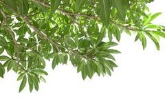 Filial av det gröna frangipanibladet som isoleras på vit royaltyfri fotografi