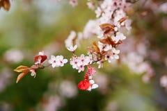 Filial av det körsbärsröda trädet med martisoren, traditionellt symbol av den första vårdagen arkivbild