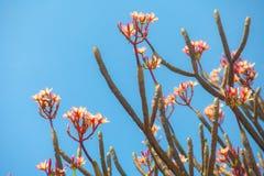 Filial av det rosa plumeriablommaträdet Royaltyfri Foto