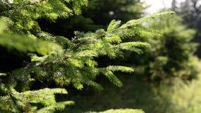 Filial av det unga gran-trädet som flyttar sig med vind i skogsommartiden, solig dag stock video
