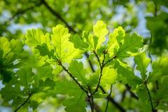 Filial av det unga sol- gröna ekbladet Arkivfoton