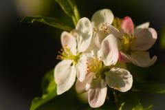 Filial av det vita blomstra äppleträdet slapp bakgrund Arkivbild
