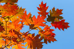 Filial av eken i höstfärger. royaltyfria foton