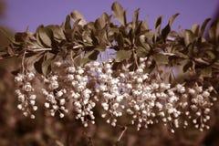 Filial av en blomningbuske av barberrydet vanliga royaltyfria bilder