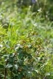 Filial av en buske med att mogna bär, Altai, Ryssland arkivfoton
