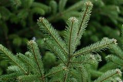 Filial av en vintergrön gran Royaltyfria Bilder