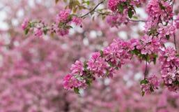 Filial av ett blomstra äppleträd Arkivfoto