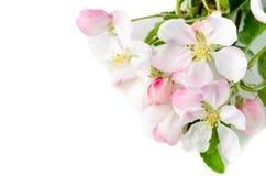 Filial av ett blomstra Apple-träd på en vit bakgrund, slut-u Arkivbild