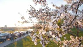 Filial av ett blomstra körsbärsrött träd grunt djupfält