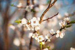 Filial av ett blomstra träd i vår Hur fruktträdet blomstrar, äpplet, körsbäret, päronet, plommon Närbild textur av naturligt skäl Royaltyfria Foton