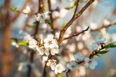 Filial av ett blomstra träd i vår Hur fruktträdet blomstrar, äpplet, körsbäret, päronet, plommon Närbild textur av naturligt skäl Royaltyfria Bilder