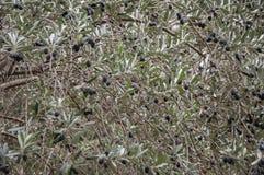 Filial av ett olivträdslut upp Royaltyfria Bilder