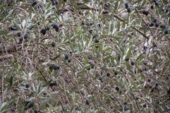 Filial av ett olivträdslut upp Arkivbild