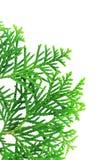 Filial av ett thujaträd Arkivbild