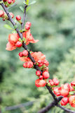 Filial av ett träd med orange blommor Arkivbilder