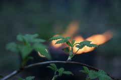 Filial av ett träd mot en brand i en skog för manga på våren Royaltyfria Bilder