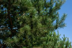 Filial av grön gran på bakgrunden av blå himmel Royaltyfri Foto