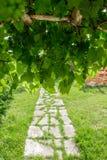 Filial av gröna druvor på vinranka i vingård Royaltyfria Bilder