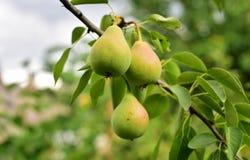 Filial av gröna päron royaltyfri foto