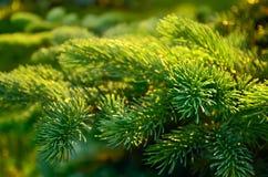 Filial av granträdet. arkivbild