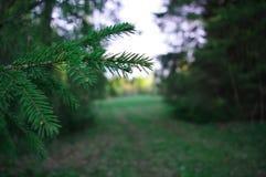 Filial av granvisarbanan av skogträd Royaltyfria Bilder
