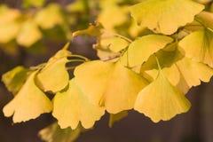 Filial av gula ginkosidor i nedgången fotografering för bildbyråer