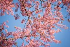Filial av Himalayan körsbärsrött (Prunuscerasoides) blomma Royaltyfri Bild