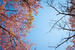 Filial av Himalayan körsbärsrött (Prunuscerasoides) blomma Arkivbilder