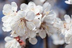 Filial av körsbärblommor royaltyfri bild