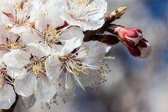 Filial av körsbärblommor royaltyfria foton