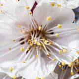 Filial av körsbärblommor arkivfoto