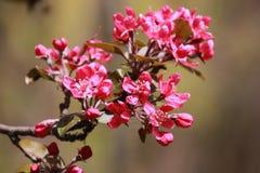 Filial av körsbärsröda röda blommor Arkivfoton