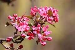 Filial av körsbärsröda röda blommor Arkivbilder