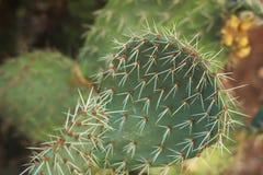 Filial av kaktuns för taggigt päron Royaltyfri Foto