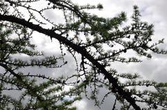 Filial av lärken med mörker - blå himmel Royaltyfria Bilder