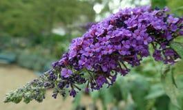 Filial av liliac Royaltyfria Bilder