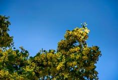 Filial av lindträdet mot den blåa himlen Arkivfoto
