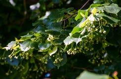Filial av lindträdet mot den blåa himlen Royaltyfri Foto