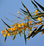 Filial av mimosaträdet Arkivbilder