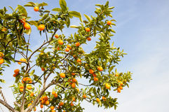 Filial av mini- apelsiner (Kumquats) mot en blå himmel Royaltyfria Foton