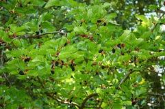 Filial av mullbärsträdträdet Arkivbild