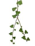 Filial av murgrönan som isoleras på vit Royaltyfri Bild