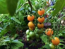 Filial av nya gula körsbärsröda tomater som hänger på träd i organisk lantgård royaltyfri foto