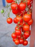 Filial av nya körsbärsröda tomater som hänger på träd Arkivbilder